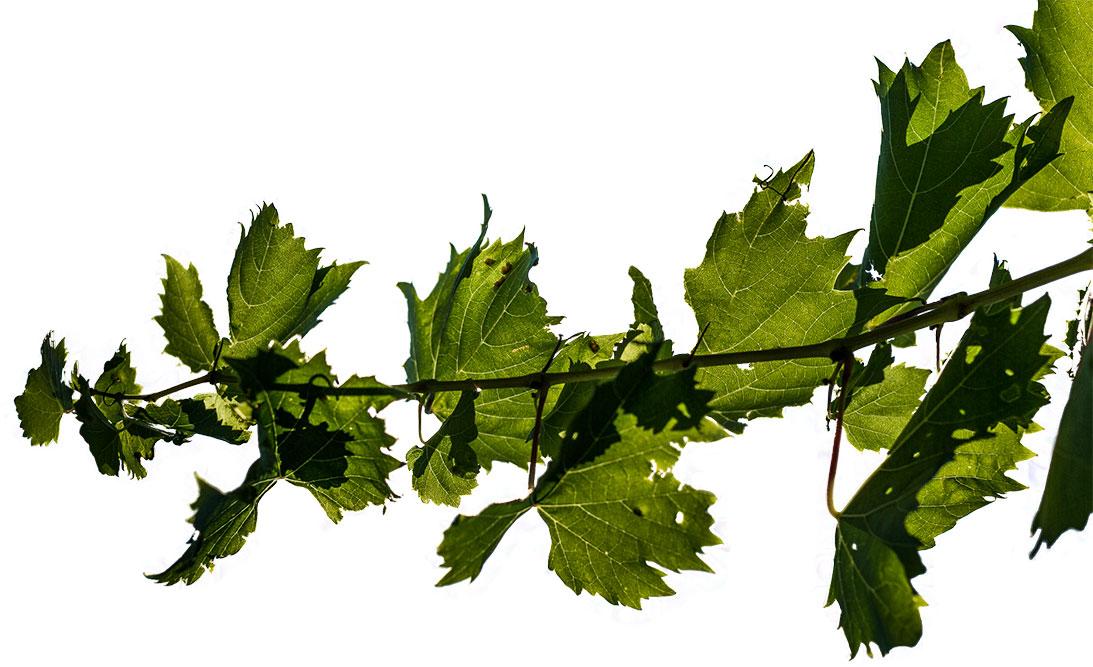ramo vite prever vini rossi e bianchi del piemonte